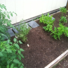 tomatoes, green beans and peppers (7/20)