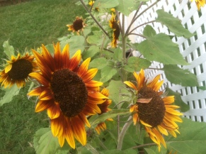 Sunflowers...they attract the bees. (7/20)